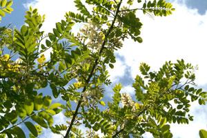 akacie træ-blade